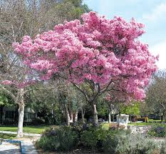 trees are also native plants pacific horticulture society striving for diversity the trumpet