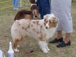 australian shepherd grooming needs 980 best australian shepherd images on pinterest animals