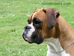 boxer dog t shirts uk funny boxer pictures dog the dog wallpaper best the dog wallpaper