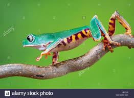 super tiger legged waxy monkey frog stock photo royalty free