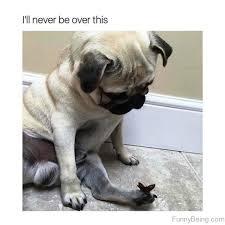 Sad Pug Meme - 85 mad pug memes