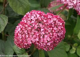 hydrangea invincibelle spirit hydrangea u2013 raising money for breast cancer