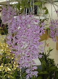 orchid plants for sale plant sales orchids orchid plant sale and plants