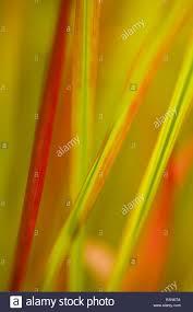 ornamental grass imperata cylindrica baron stock photo