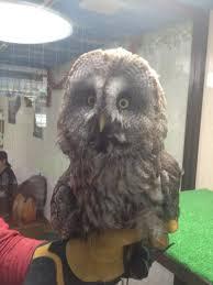 who thinks japan u0027s owl cafes are a hoot