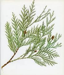 drawn fir tree botanical pencil and in color drawn fir tree