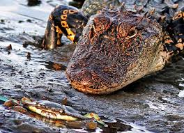 alligator claws crab v alligator stunning of tiny terror taking on sneaky