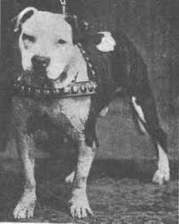 american pit bull terrier history american pit bull terrier my brindle pittie u0027s heritage can be