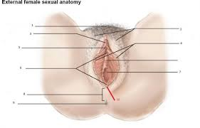 Female Sexual Anatomy Pictures Female Anatomy Chapter 2 Human Sexuality Flash Cards Koofers