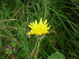 Dandelion Facts British Wildlife Facts Dandelion Let U0027s Go Britain