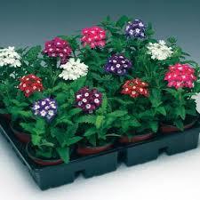 Verbena Flower Verbena Obsession Eyed Mix U2013 Harris Seeds