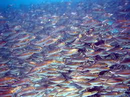 forage fish wikipedia