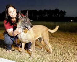 belgian sheepdog houston tx these military dogs have earned a place in our hearts houston
