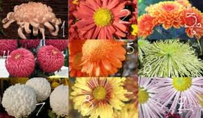 flower of the month the chrysanthemum