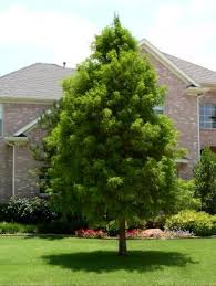 cypress trees an ornamental landscaping tree of choice the