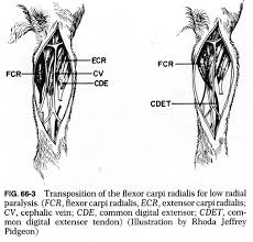 Dog Anatomy Front Leg 66f3 Jpg