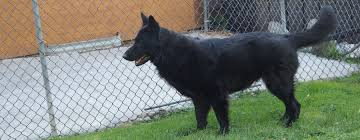 belgian shepherd quebec black german shepherd puppies from german american lines