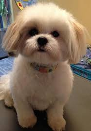 bichon frise and a shih tzu shih tzu haircuts petcarepricing com
