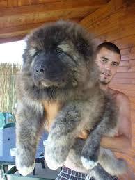 australian shepherd look alike 17 chubby puppies that look like teddy bears bored panda