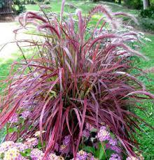 ornamental grasses twitty nursery