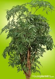 Low Light Indoor Trees 19 Best Low Light Houseplants Images On Pinterest Houseplants