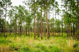 Texas forest images Roy e larsen sandyland sanctuary the nature conservancy jpg