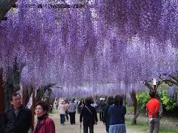 wisteria flower festival in fuji park wake town the wadas on duty