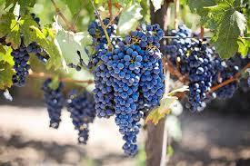 Grape Vine Pergola by 14 Best Climbing Plants For Pergolas Arches Arbor Or Trellis