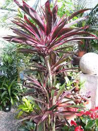 plantfiles pictures cordyline hawaiian ti plant good luck plant
