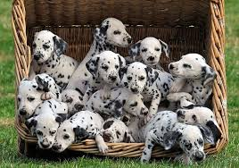 101 dalmatians puppies lived marsh farm