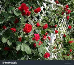 white trellis supporting red rose vine stock photo 1525075