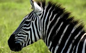 cute zebra coloring pages arterey info