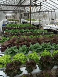 evaluating field bred lettuce varieties for hydroponic greenhouse