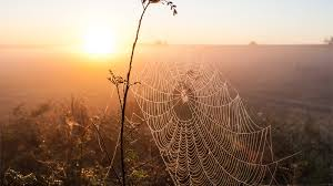 giant spider web covers new zealand field animals national