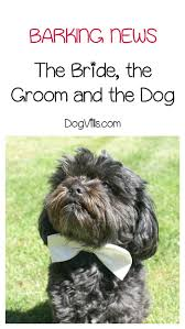 affenpinscher india top dog news the bride the groom and the dog dogvills
