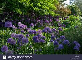 ornamental allium giganteum flower summer june sun