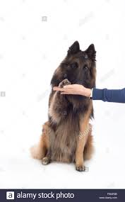 belgian sheepdog tervuren dog belgian shepherd tervuren paw in human hand isolated on