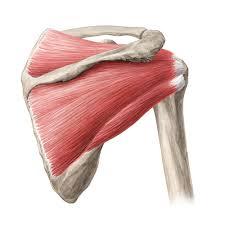 Anatomy Of Rotator Cuff Quiz Test Rotator Cuff Muscles Kenhub
