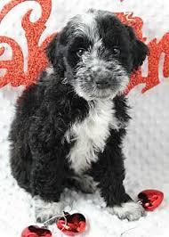 adopt a australian shepherd new york ny australian shepherd mix meet adriana a dog for