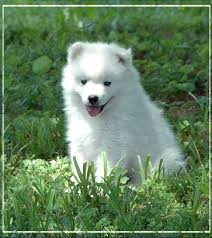 american eskimo dog washington state american eskimo dog breeders within the united states siggy u0027s