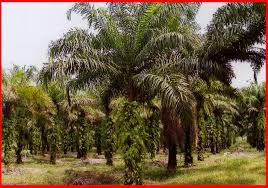 Minyak Kelapa Sawit Terkini potensi lumayan dalam pelaburan ladang kelapa sawit