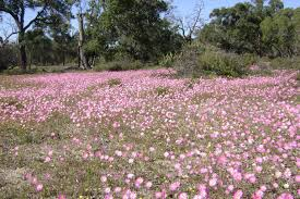 no 1 australian wildflower seeds supplier