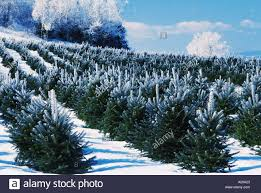 christmas tree farm new brunswick canada winter scene with frost