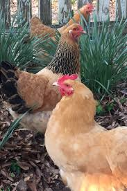 2713 best chicken and rooster colour pictures images on pinterest