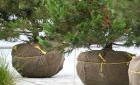 tree sales planting rock trees for sale