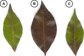 Australasian Plant Disease Notes - backhousia myrtifolia leaf discolouration symptoms observed during