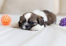 bichon frise for sale cheap shih tzu puppies for sale akc puppyfinder