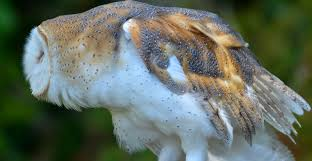 North American Barn Owl Red And The Peanut The Beauty Of A Barn Owl