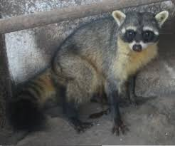 crab eating raccoon wikipedia
