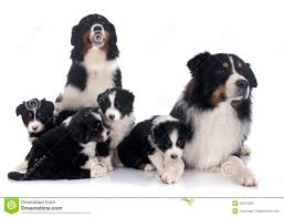 australian shepherd family dog australian shepherd family stock photo image 49521828